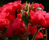 Afacerea cu trandafiri de Ziua Îndrăgostiților